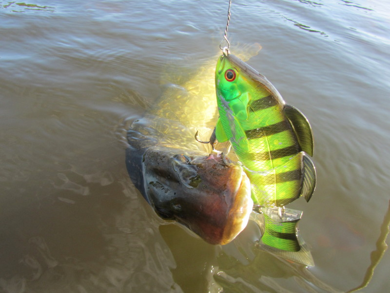 Real Blue Gill 150